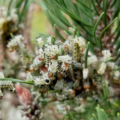 Curiouser and Curiouser - Redheaded Pine Sawfly