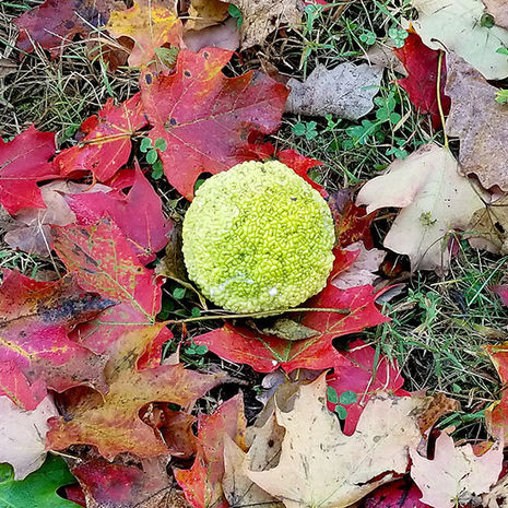 Curiouser and Curiouser - Osage Orange