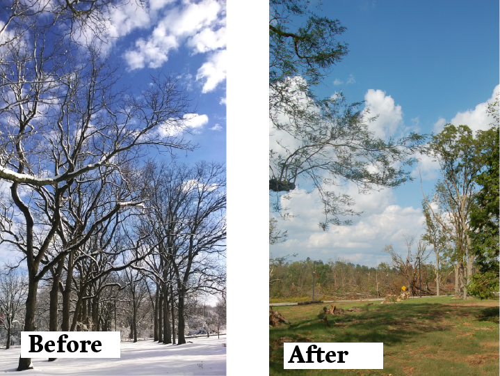 A before and after view of the historic allée of nut-bearing trees