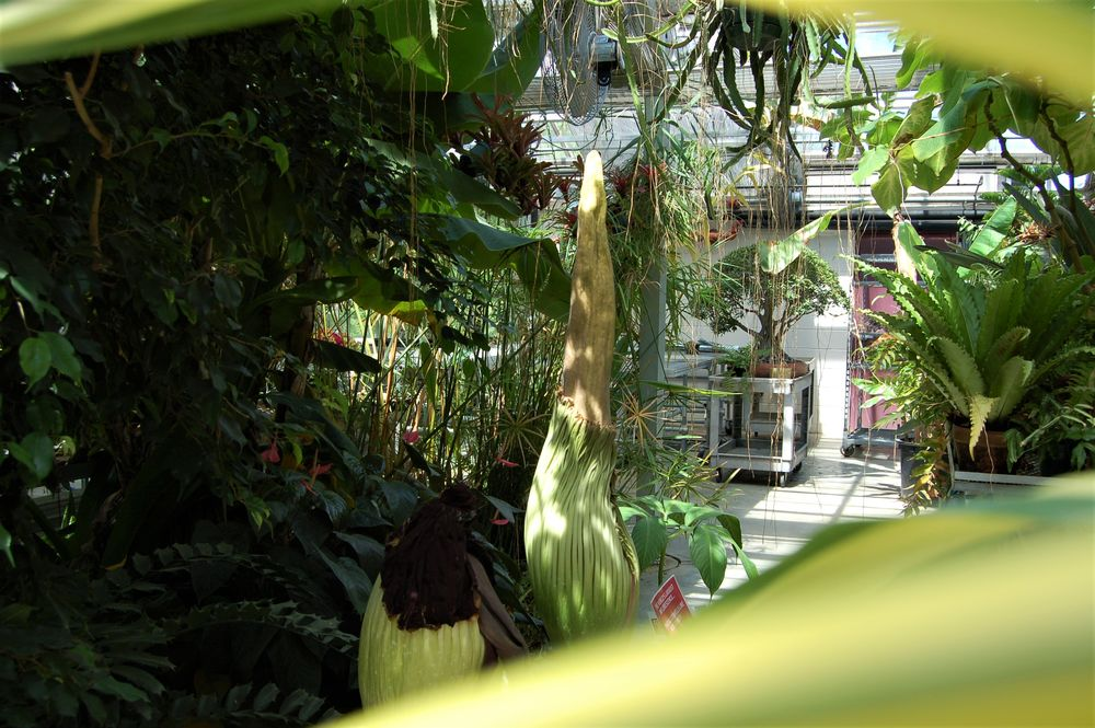 Second corpse flower at Temple Ambler