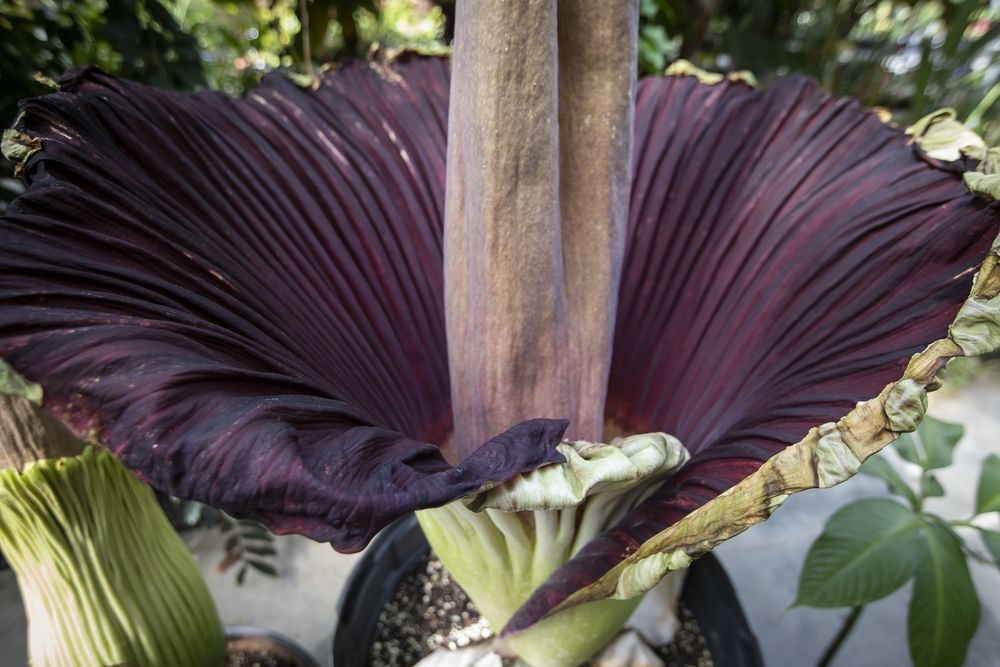 Corpse flower blooming at Temple Ambler
