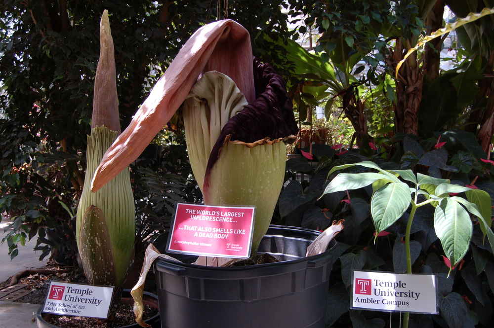 Corpse Flowers at Temple Ambler